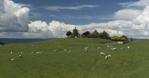 Weiden lassen von sheeps Irgendwo in Neuseeland Stockfotos