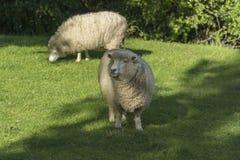 Weiden lassen von sheeps Irgendwo in Neuseeland Lizenzfreie Stockfotografie