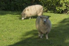 Weiden lassen von sheeps Irgendwo in Neuseeland Lizenzfreies Stockbild