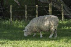 Weiden lassen von sheeps Irgendwo in Neuseeland Stockbild