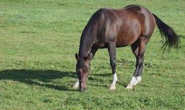 Weiden lassen von Stallion stockbild