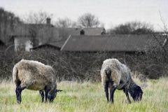 Weiden lassen von Tieren auf schwarzem u. weißem Hintergrund Stockbild