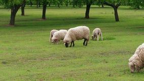 Weiden lassen von wei?en Schafen und von L?mmern auf gr?nem Feld am Fr?hlingstag stock footage