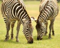 Weiden lassen von Zebras Lizenzfreies Stockbild