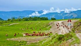 Weiden lassend nähern sich Kühe der Straße Lizenzfreies Stockbild
