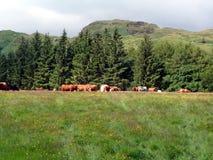 Weiden lassend nähern sich Kühe Waldland u. Berg Stockfotos