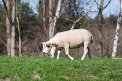 Weiden lassend nähern sich Schafe einem Hintergrund der Bäume Stockfotos