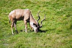 Weiden lassende Brown-Antilope Lizenzfreie Stockbilder