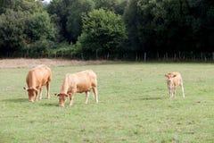 Weiden lassende Brown-Kühe stockbilder