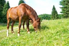 Weiden lassende Brown-Pferde Lizenzfreie Stockfotografie
