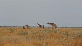 Weiden lassende Giraffa camelopardalis stock video