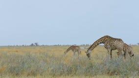 Weiden lassende Giraffe, wild lebende Tiere Namibias, Afrika stock video