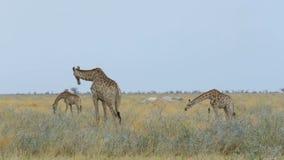 Weiden lassende Giraffe, wild lebende Tiere Namibias, Afrika stock video footage