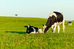Weiden lassende Holstein-Kühe Stockfotografie