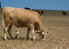Weiden lassende Kühe Stockbilder