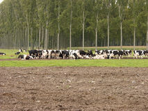 Weiden lassende Kühe. Lizenzfreie Stockfotografie