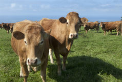 Weiden lassende Kühe   Stockfotografie