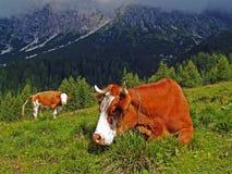 Weiden lassende Kühe Stockfoto