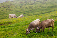 Weiden lassende Kühe Lizenzfreies Stockfoto