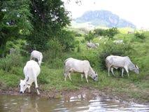 Weiden lassende Kühe Lizenzfreies Stockbild