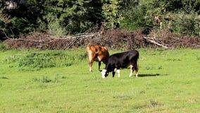 Weiden lassende Kühe stock footage