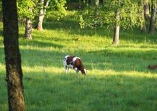 Weiden lassende Kuh Lizenzfreies Stockbild