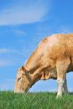 Weiden lassende Kuh Lizenzfreie Stockfotografie