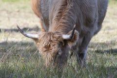 Weiden lassende Kuh stockfotos