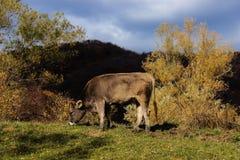 Weiden lassende Kuh Lizenzfreie Stockbilder