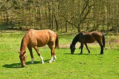 Weiden lassende Pferde Lizenzfreies Stockfoto