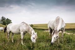 Weiden lassende Pferde Lizenzfreie Stockfotos