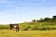 Weiden lassende Pferde Stockbilder