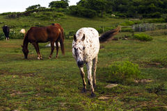 Weiden lassende Pferde Stockfotografie