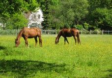 Weiden lassende Pferde Stockfoto