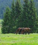 Weiden lassende Pferde Stockbild