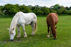 Weiden lassende Pferde Lizenzfreie Stockbilder