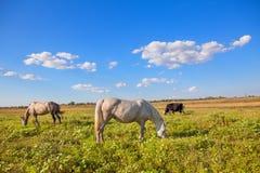 Weiden lassende Pferde und Kühe Stockbild