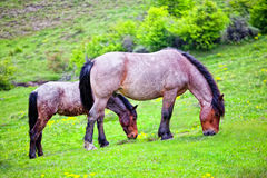 Weiden lassende Pferdenfamilie Stockfotos