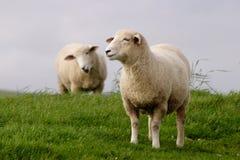 Weiden lassende Schafe Stockbild