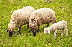 Weiden lassende Schafe Lizenzfreie Stockbilder