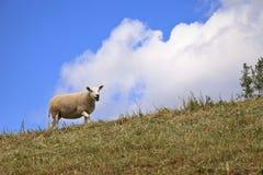 Weiden lassende Schafe Lizenzfreies Stockbild