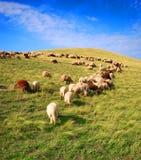 Weiden lassende Schafe Stockfotos