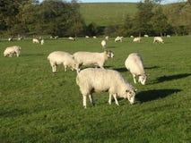 Weiden lassende Schafe. Stockbild
