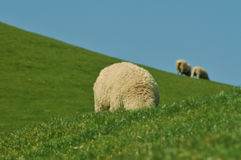 Weiden lassende Schafe Stockfoto