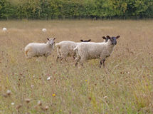 Weiden lassende Schafe Lizenzfreie Stockfotos