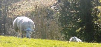 Weiden lassende Schafe, Northumberland Großbritannien Stockfoto