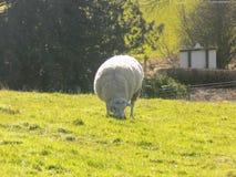 Weiden lassende Schafe, Northumberland Großbritannien Stockfotografie