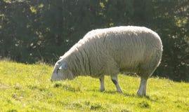 Weiden lassende Schafe, Northumberland Großbritannien Lizenzfreies Stockbild