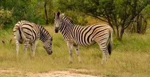 Weiden lassende Zebras Stockfoto
