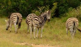Weiden lassende Zebras lizenzfreies stockbild